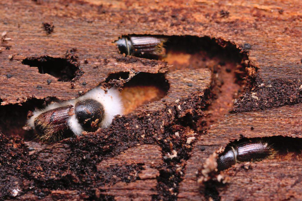 owady w drewnie jak zwalczać